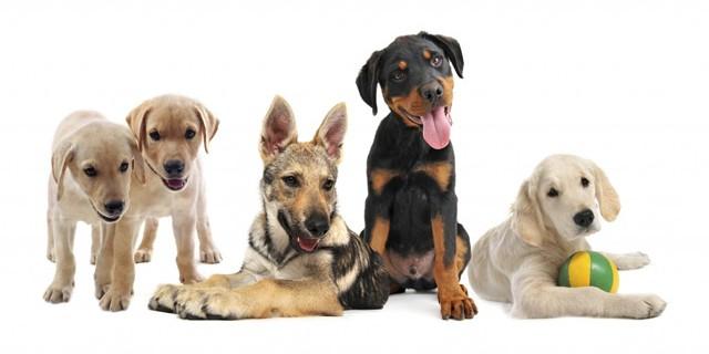 Dog Breeds En-Ru — Английские слова на тему Породы собак
