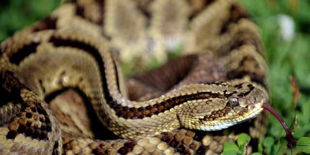 Rattlesnakes En-Ru — Английские слова на тему Гремучие змеи